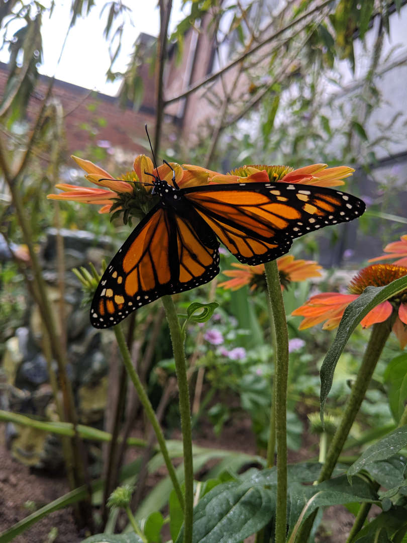 3rd Grade releases Monarch Butterflies as part of Life Cycle Unit