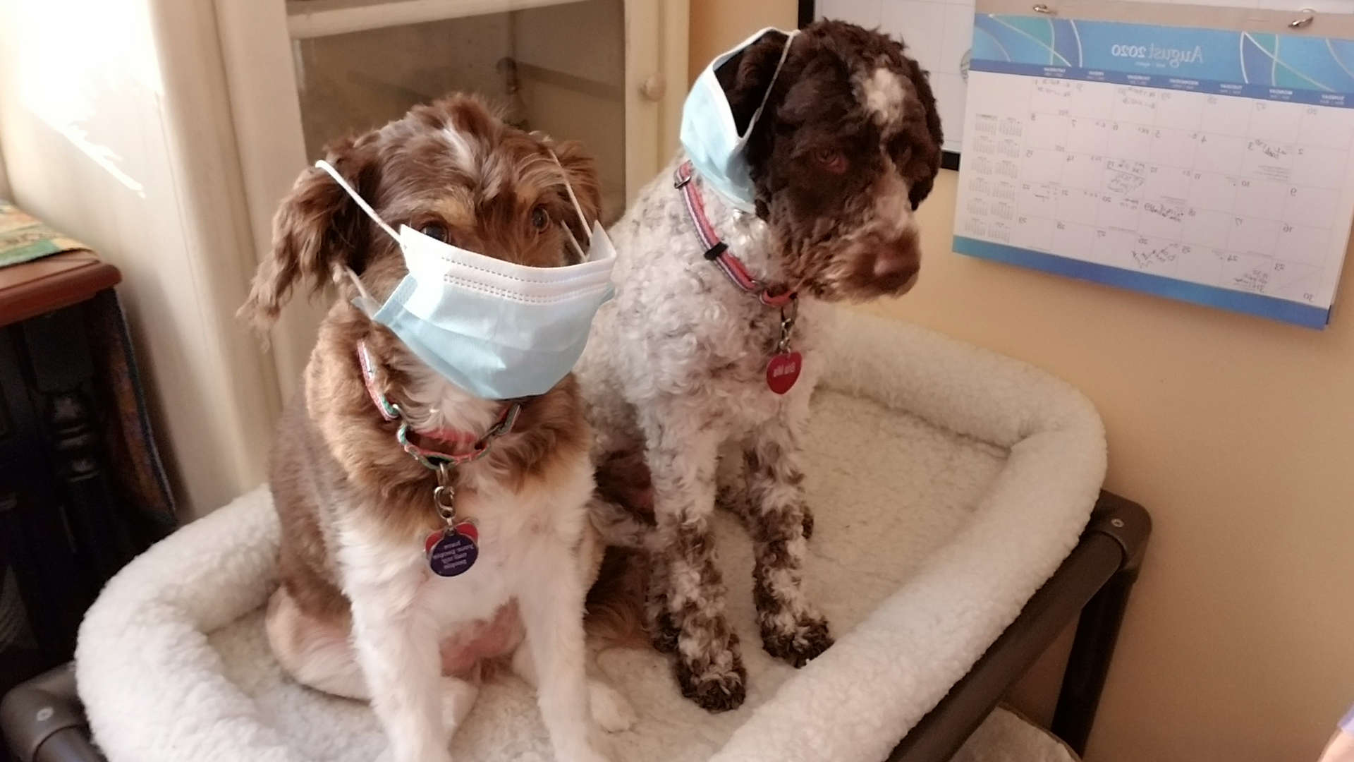 2 dogs wearing safety masks for Covid