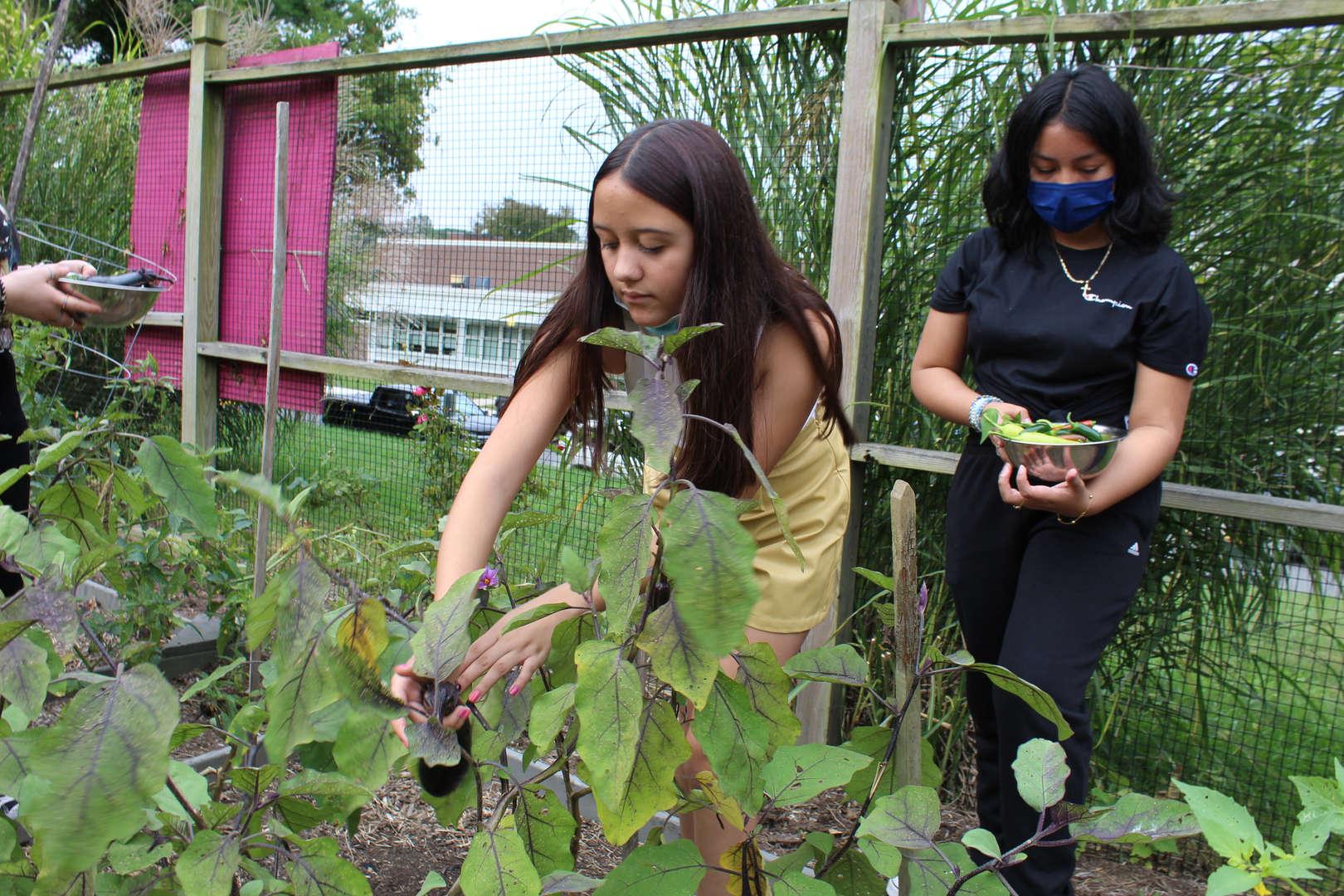 Girl picking eggplant