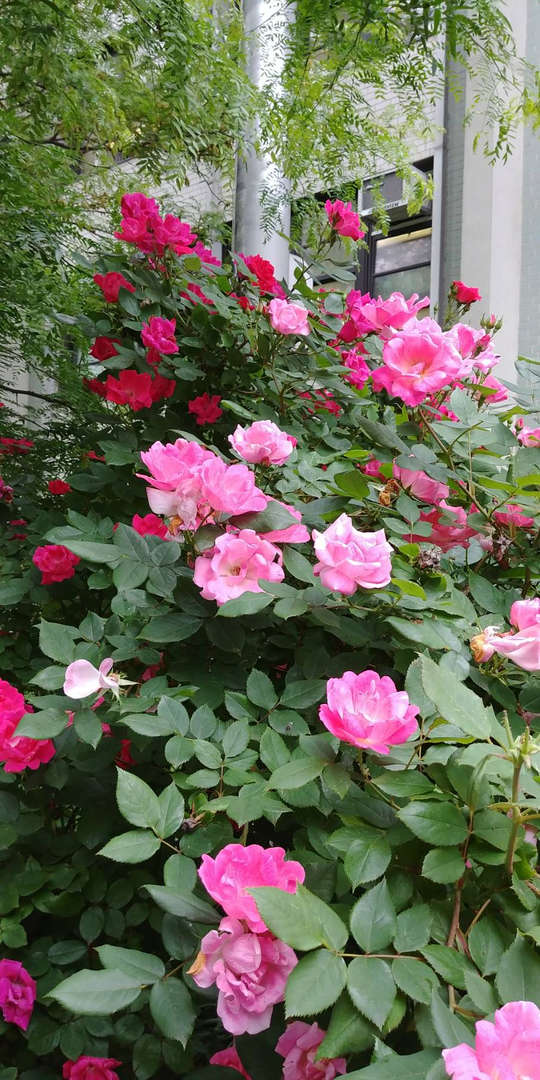 Roses in front of the campus.校園門口的玫瑰花。