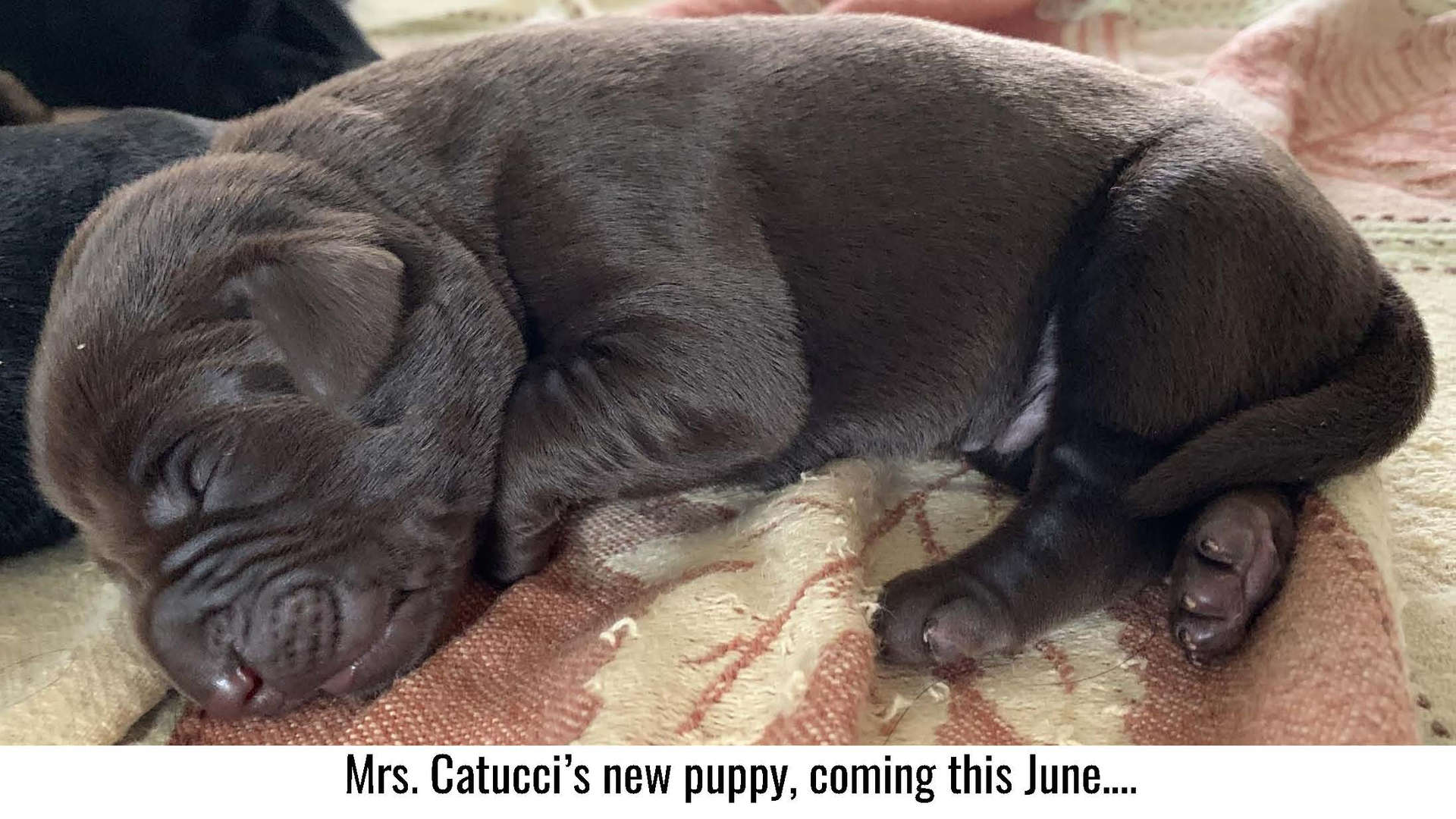 Mrs. Catucci's new puppy coming in June.
