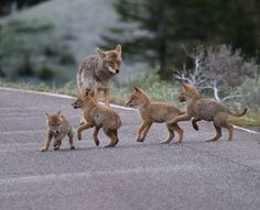Family of Coyotes Crossing the road
