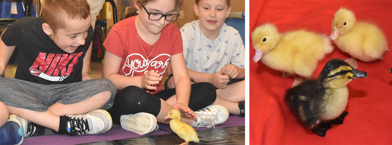 students look at ducklings; 4 ducklings crowd together