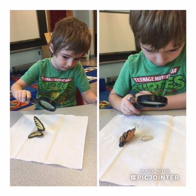 Pre-K student examining butterfly