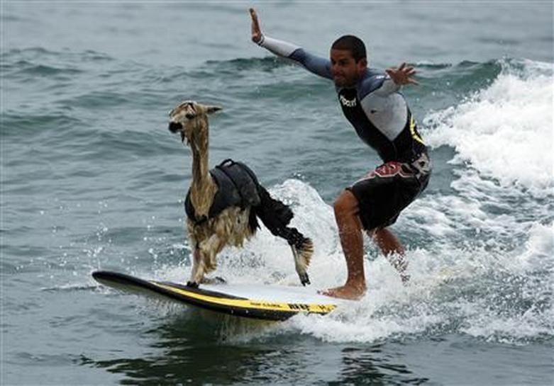 Surfin' Safari - No Limits to Lamas!