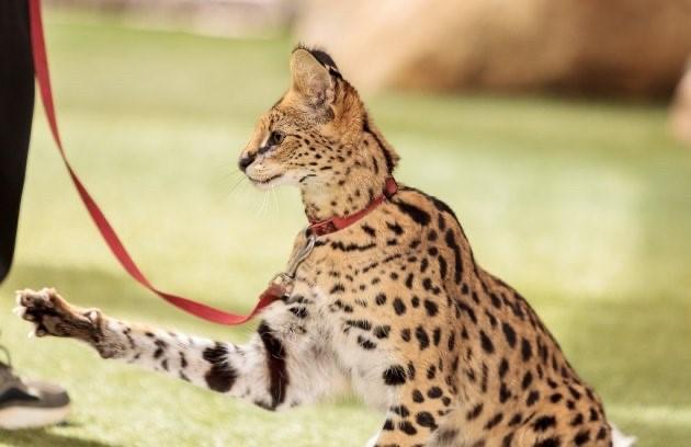 Meow! A Serval