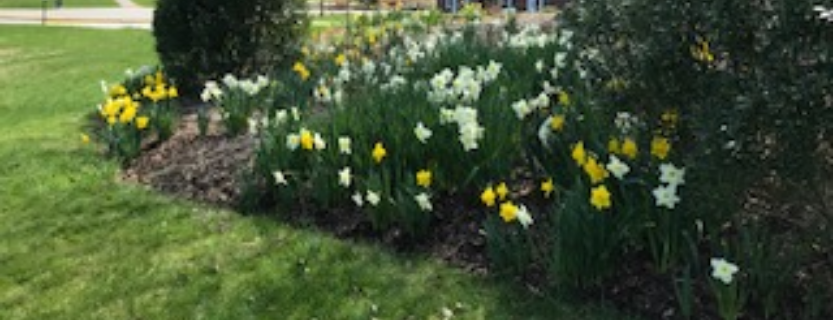 Daffodils are blooming!