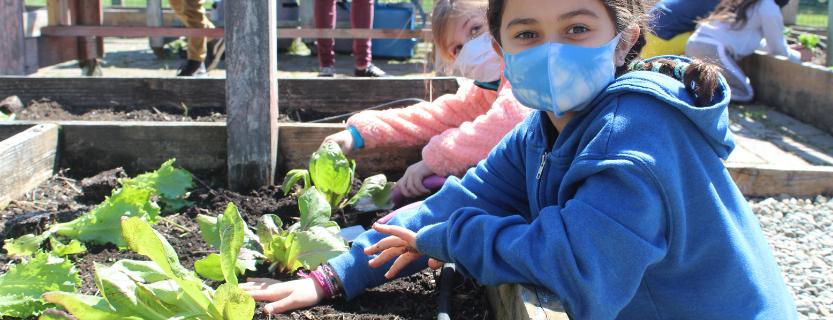 Planting lettuce in the garden