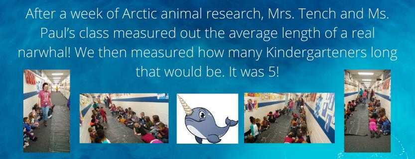 Kindergartners measuring narwhals