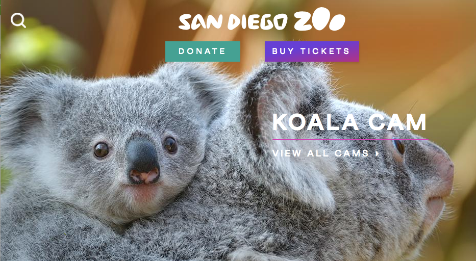 San Diego Zoo KoalaCam View all Cams Donate Buy Tickets