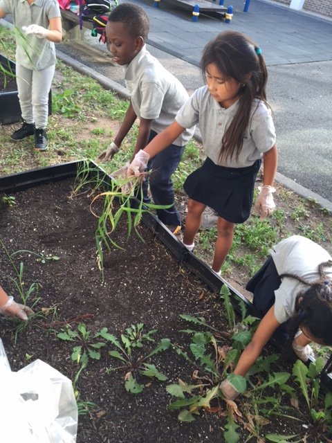 Students pulling weeds from garden plot
