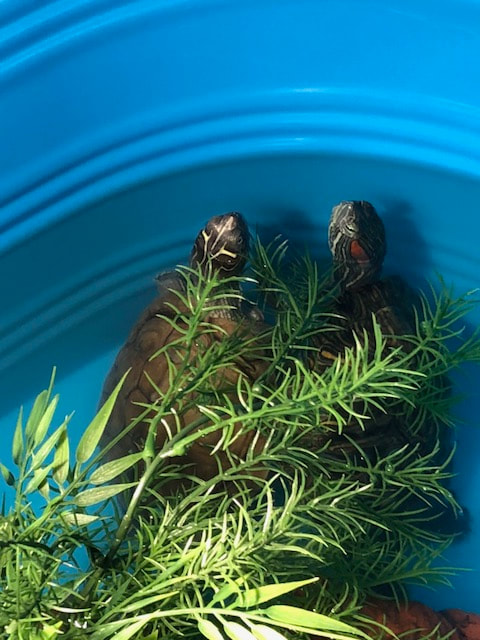 Aquatic Turtle Pets