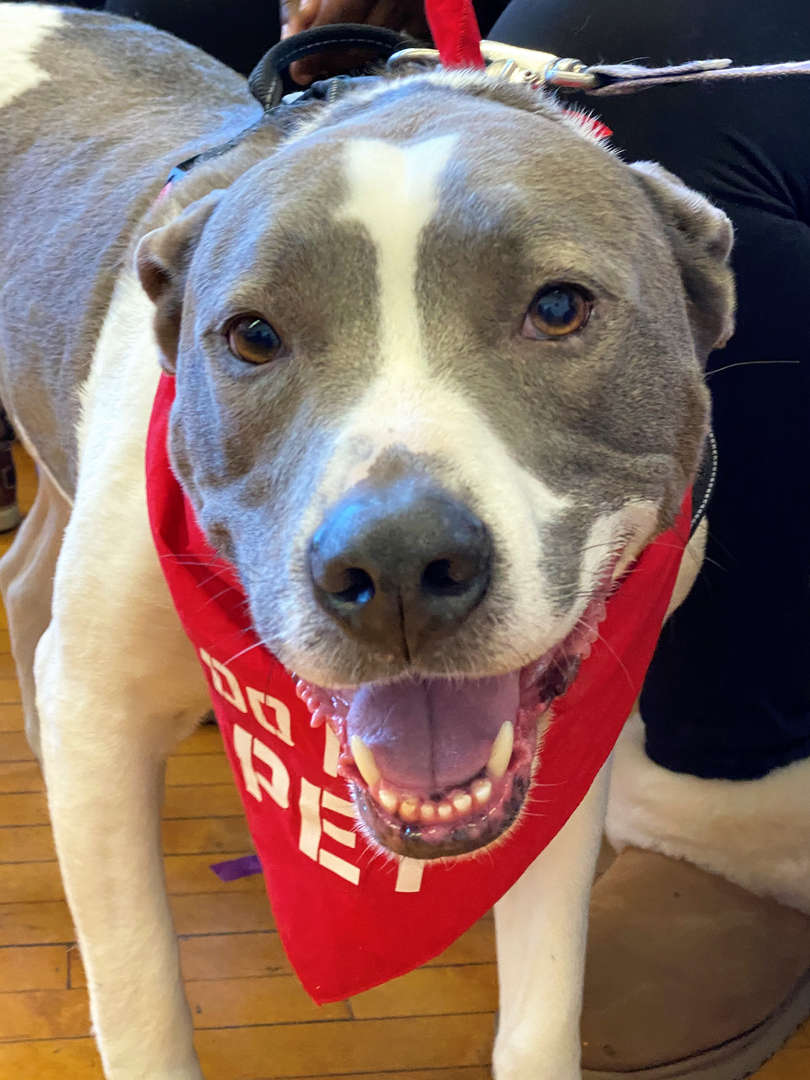 Duke is the Pocantico Hills School's new therapeutic support dog.