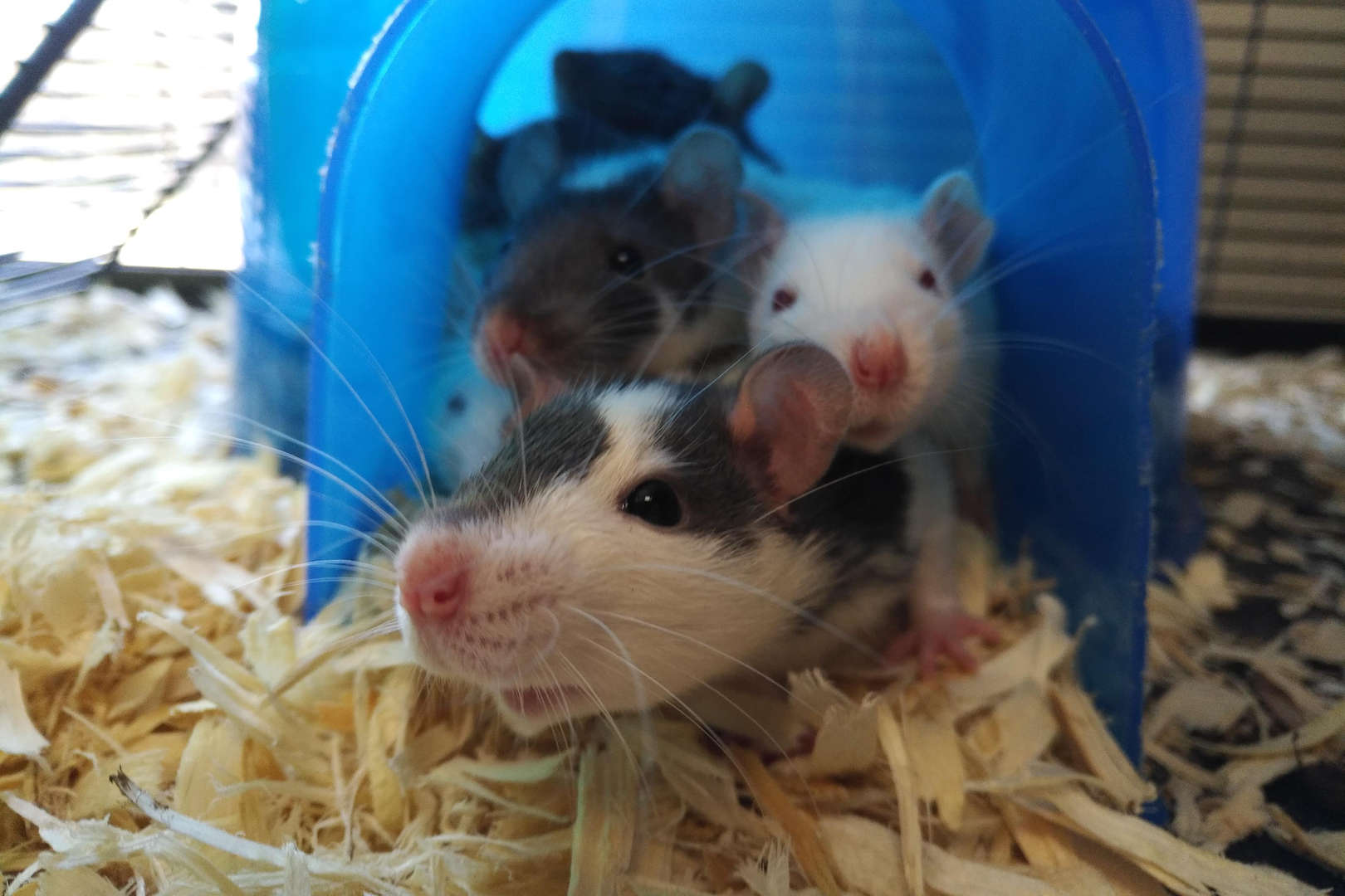 Rats group together in a blue dome
