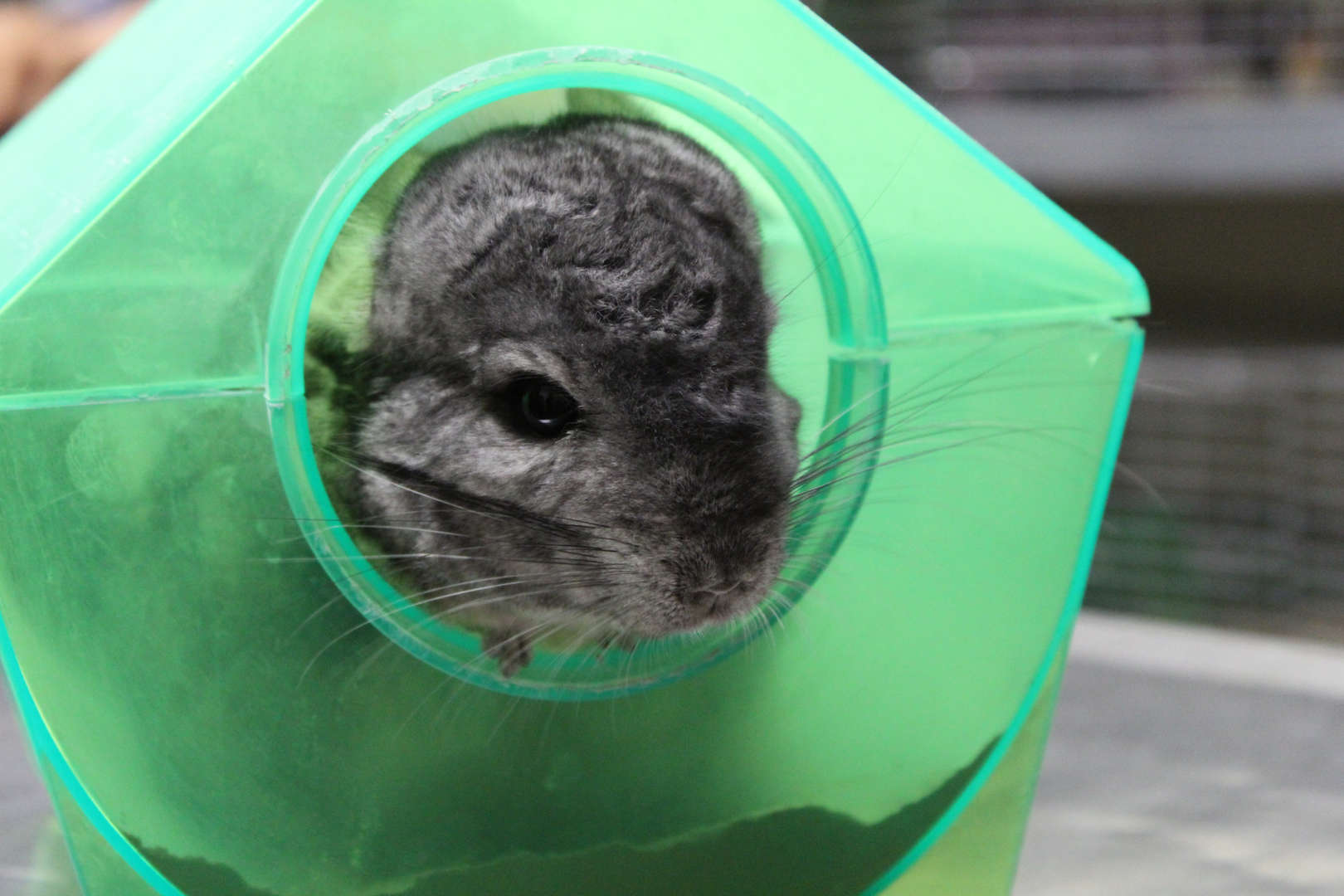 Gray chinchilla peeking out of a green container