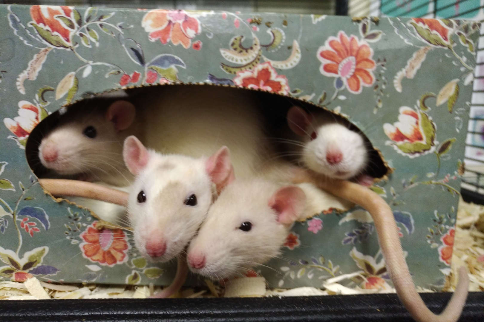 Rats snuggle up in an empty tissue box