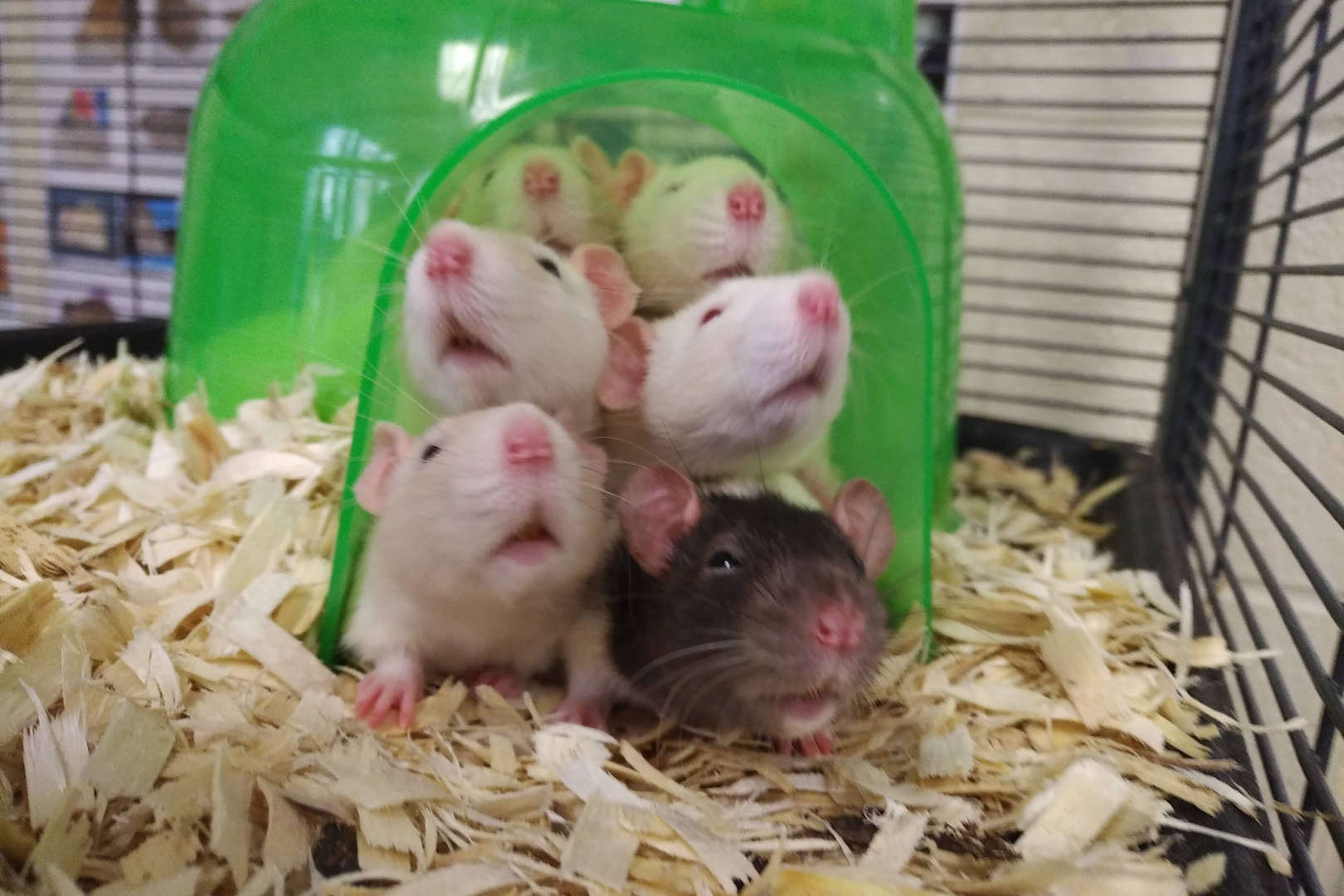 Rats stick their heads out of a green dome