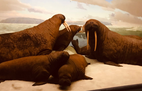 Several Walruses in the museum