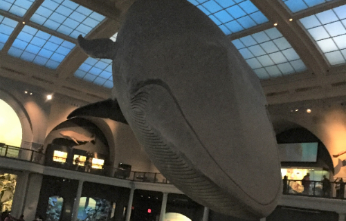 Large whale exhibit in museum