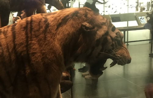 Stuffed Tiger exhibit at the Museum