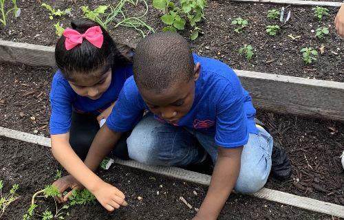 Student planting vegetables.